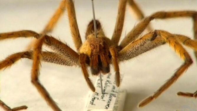 Jadowity pająk sterroryzował supermarket