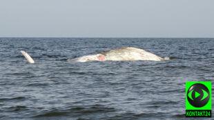 Ciało wieloryba przycumowano w Helu. Naukowcy chcą rozwikłać zagadkę jego śmierci